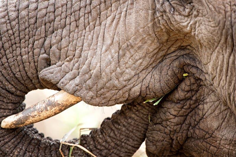 Elefante africano (africana do Loxodonta) fotografia de stock royalty free