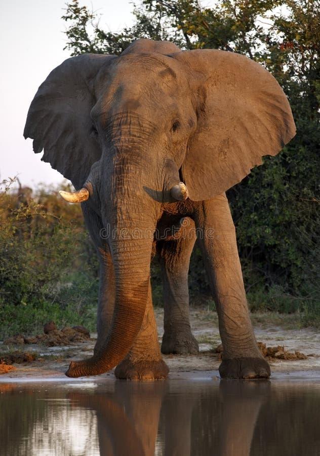 Elefante africano (africana) do Loxodonta - Botswana fotos de stock royalty free