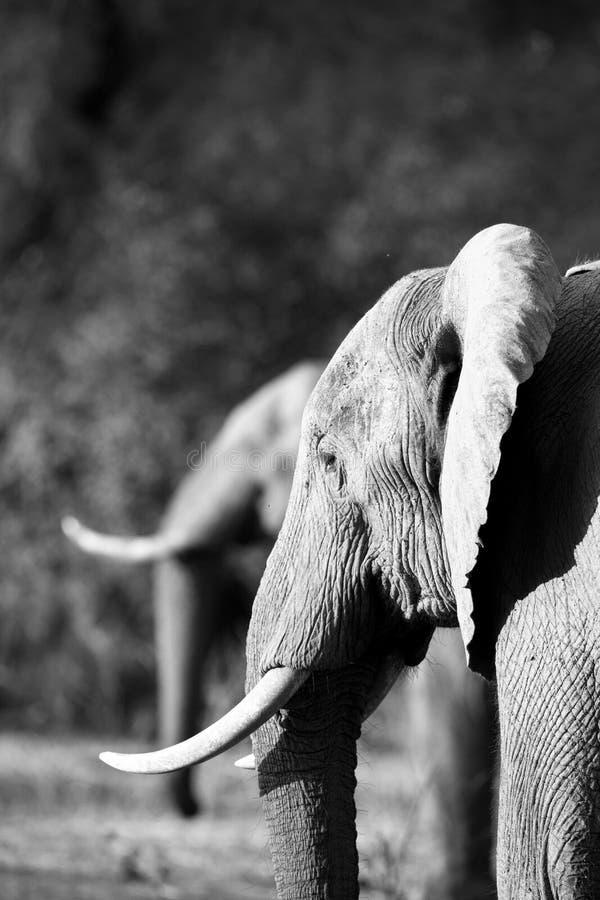 Elefante africano & x28; Africana& x29 do Loxodonta; em duplicado fotografia de stock