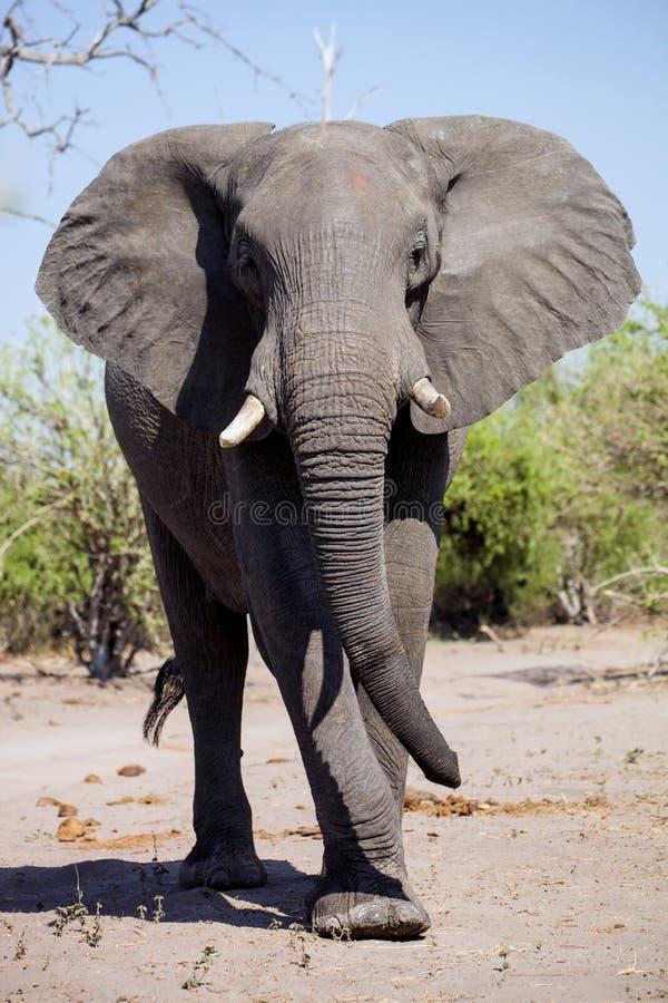 Elefante africano, africana do Loxodonta no waterhole no parque nacional de Etosha em Namíbia foto de stock royalty free