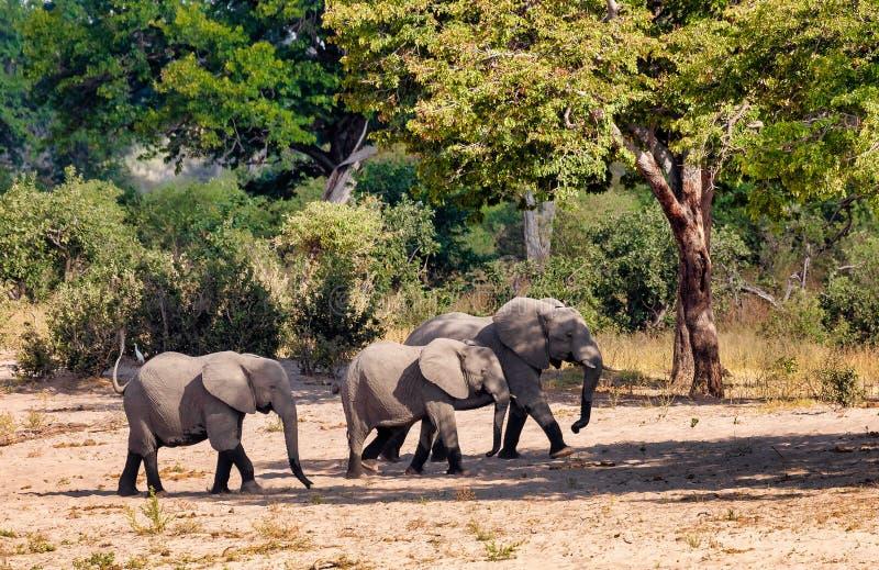 Elefante africano, animais selvagens do safari de Namíbia, África fotografia de stock