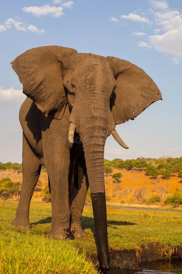 Elefante africano bebendo, parque nacional de Chobe, Botswana fotografia de stock royalty free