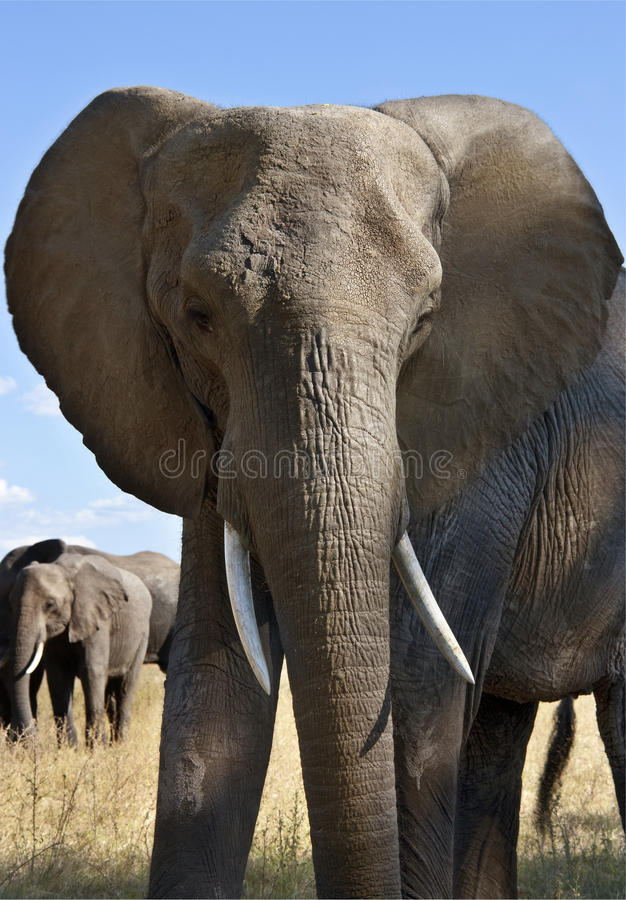 Elefante africano - Botswana imagens de stock