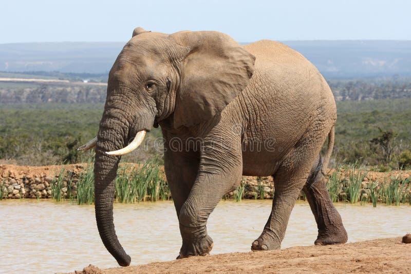 Elefante africano Bull fotografía de archivo