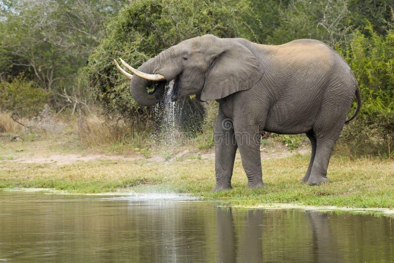Elefante africano Bull, bebendo, Afric sul fotografia de stock royalty free