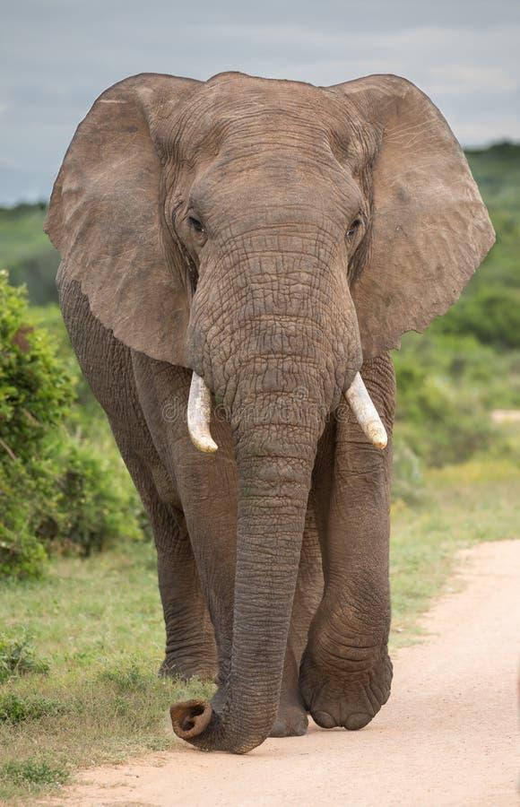 Elefante africano Bull ou homem foto de stock