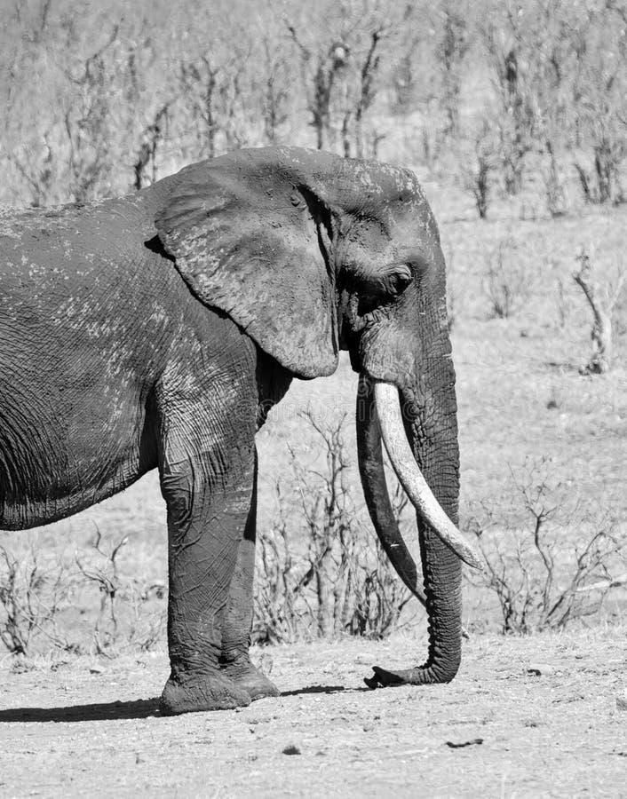 Elefante africano Bull fotografia stock libera da diritti