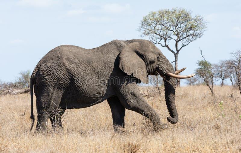 Elefante africano Bull fotografie stock libere da diritti
