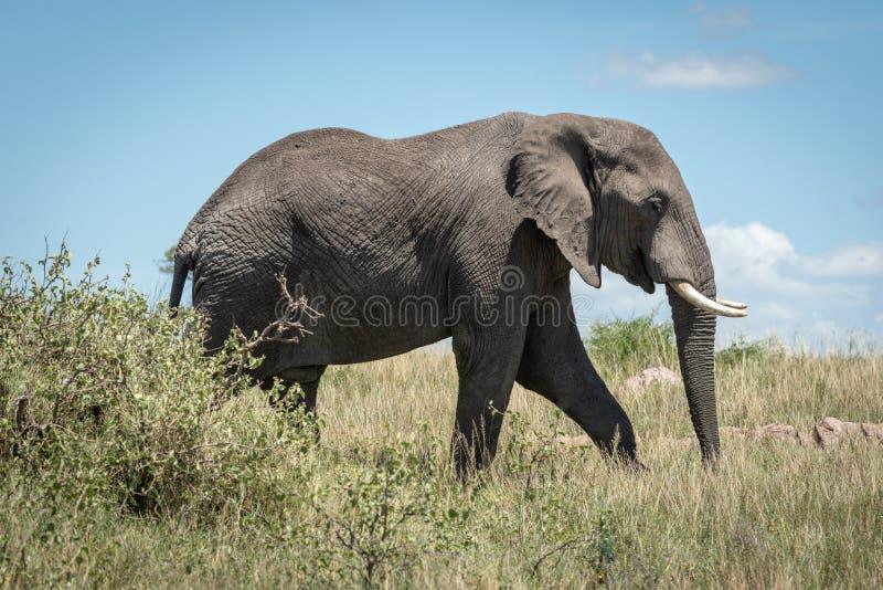 Elefante africano che cammina dietro il cespuglio in savana fotografie stock