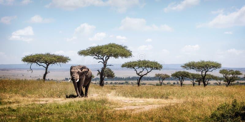 Elefante africano che cammina gli alberi passati dell'acacia in Africa fotografia stock