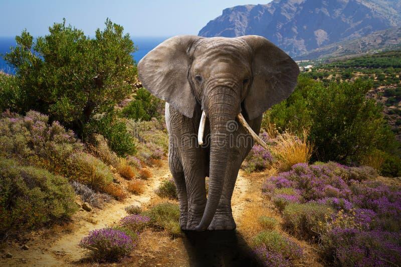 Elefante africano che cammina nei cespugli immagini stock libere da diritti