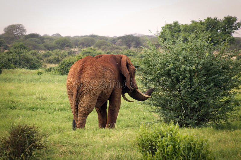 Elefante africano che cammina verso il cespuglio alla riserva ad ovest di Tsavo immagini stock libere da diritti