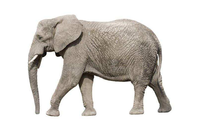 Elefante africano com trajeto de grampeamento foto de stock