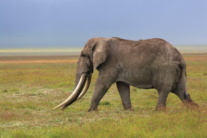Elefante africano con el colmillo enorme fotos de archivo