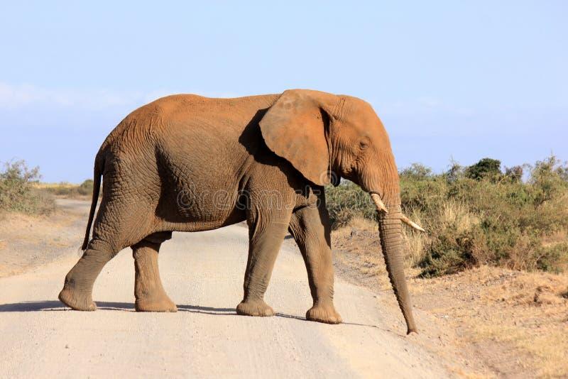 Elefante africano con una zanna rotta immagine stock