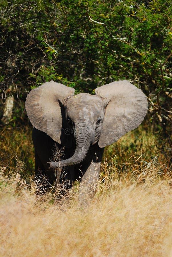 Elefante africano Cub (Loxodonta Africana) imagenes de archivo