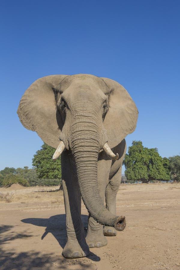 Elefante africano curioso imagem de stock royalty free