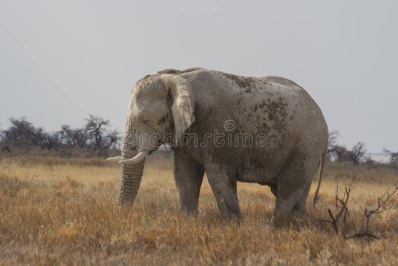 Elefante africano de Bull del envejecimiento que pasta en el parque nacional de Etosha, Namibia fotografía de archivo