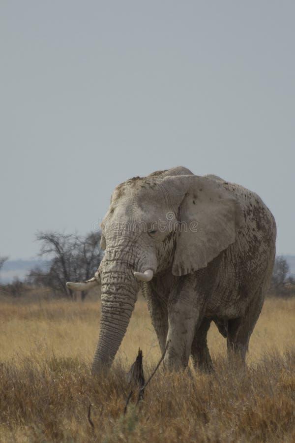 Elefante africano de Bull que pasta en el parque nacional de Etosha imagen de archivo libre de regalías