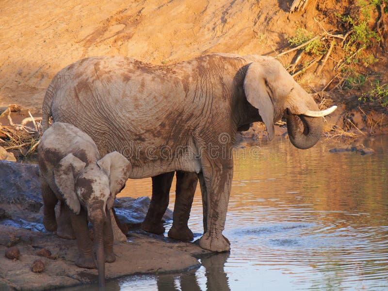 Elefante africano de Bush imagem de stock
