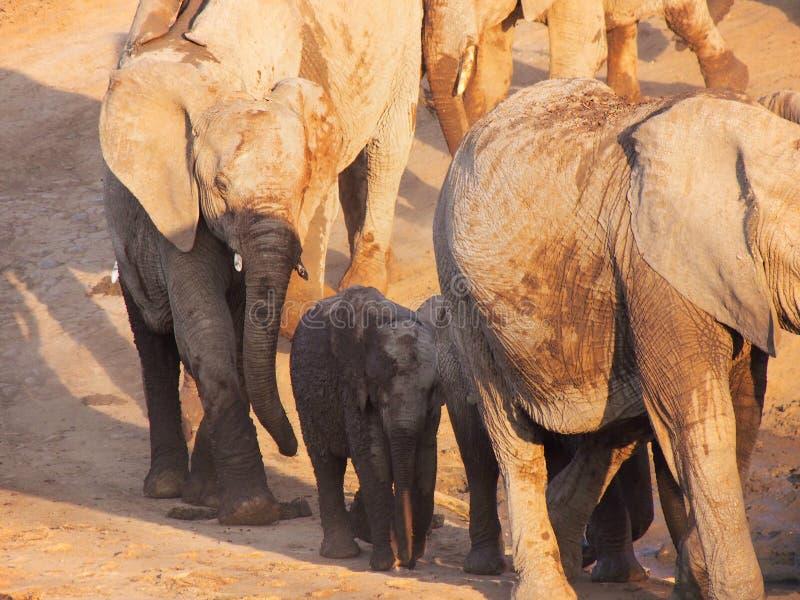 Elefante africano de Bush imagem de stock royalty free