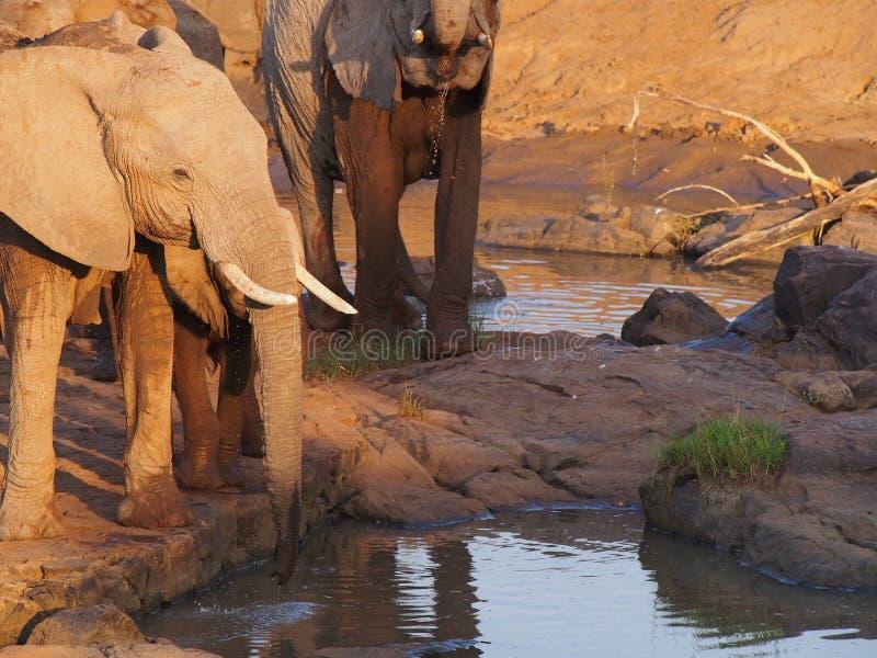 Elefante africano de Bush imagens de stock royalty free