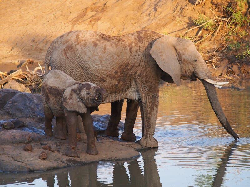 Elefante africano de Bush fotografia de stock