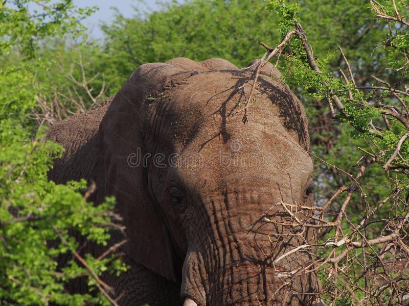 Elefante africano de Bush fotos de stock royalty free