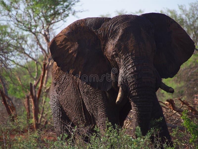 Elefante africano de Bush fotografia de stock royalty free