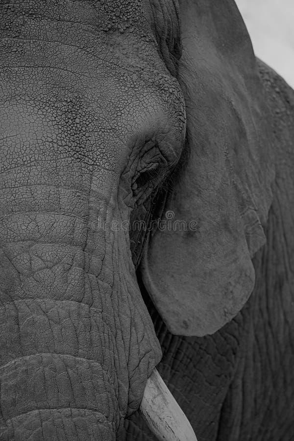 Elefante africano de Bush - africana del Loxodonta foto de archivo