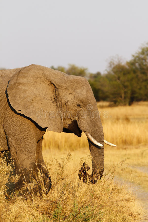 Elefante africano de la matriarca que lleva la manera fotografía de archivo libre de regalías