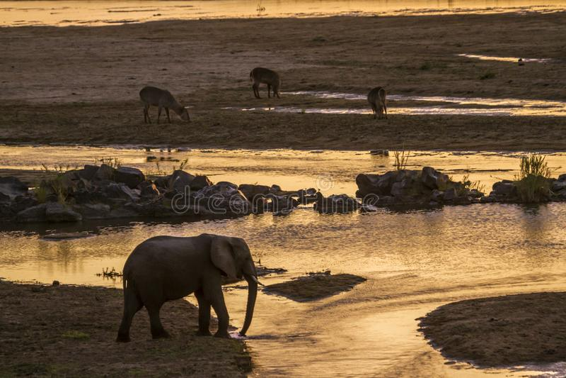 Elefante africano del arbusto en el parque nacional de Kruger, Suráfrica fotos de archivo libres de regalías