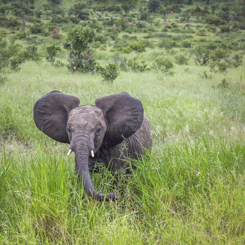 Elefante africano del arbusto en el parque nacional de Kruger, Sur?frica fotografía de archivo