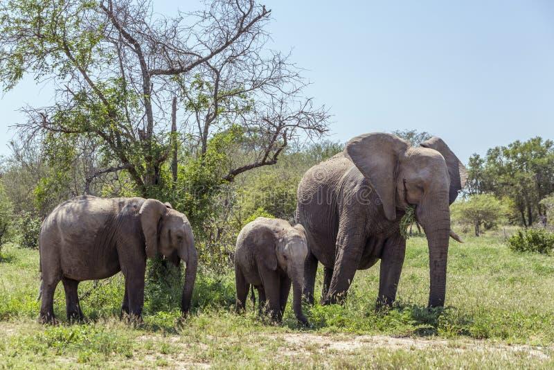 Elefante africano del arbusto en el parque nacional de Kruger, Sur?frica imagen de archivo
