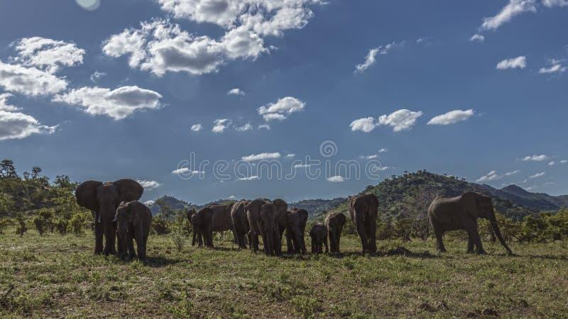 Elefante africano del arbusto en el parque nacional de Kruger, Sur?frica fotos de archivo libres de regalías