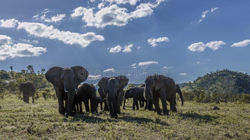 Elefante africano del arbusto en el parque nacional de Kruger, Sur?frica imágenes de archivo libres de regalías