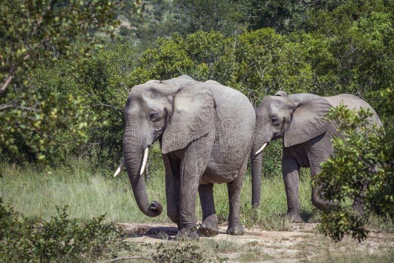 Elefante africano del arbusto en el parque nacional de Kruger, Sur?frica imagen de archivo libre de regalías