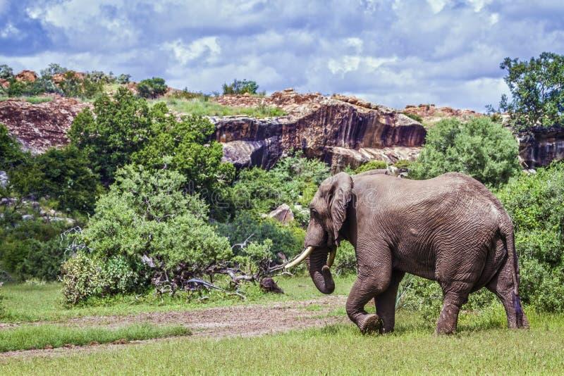 Elefante africano del arbusto en el parque nacional de Mapungubwe, Suráfrica imagenes de archivo