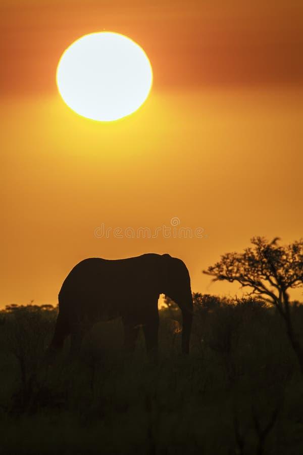 Elefante africano del arbusto en puesta del sol en el parque nacional de Kruger foto de archivo