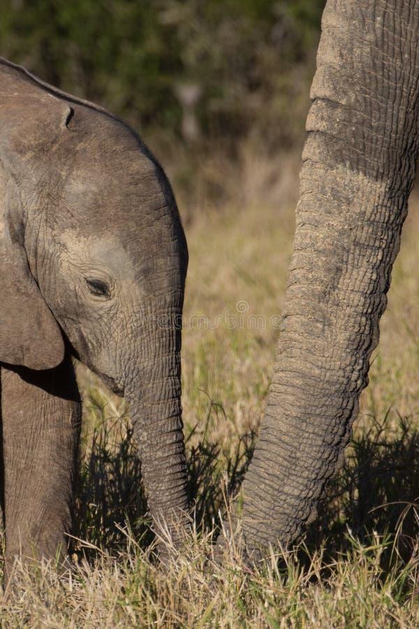 Elefante africano del bebé salvaje fotos de archivo