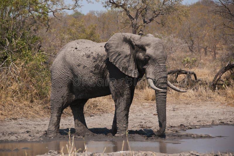 Elefante africano del cespuglio fotografie stock
