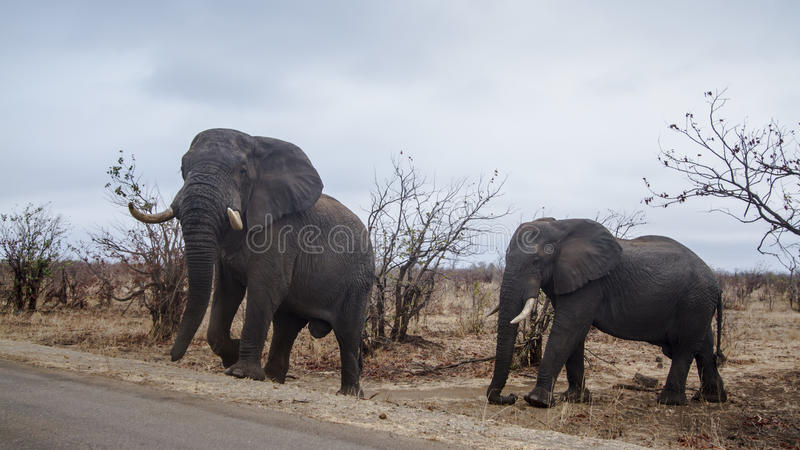 Elefante africano del cespuglio nel parco nazionale di Kruger fotografia stock