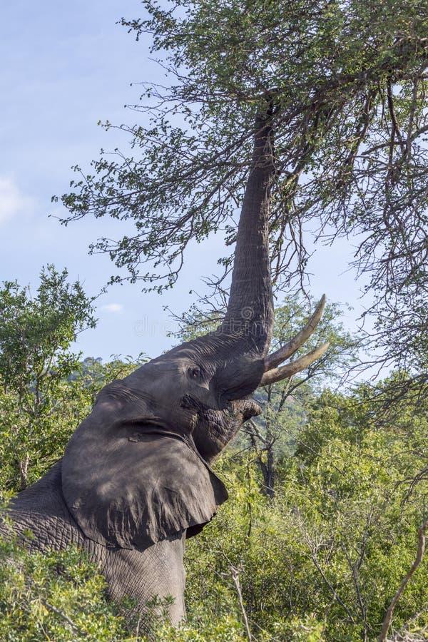 Elefante africano del cespuglio nel parco nazionale di Kruger, Sudafrica immagini stock libere da diritti