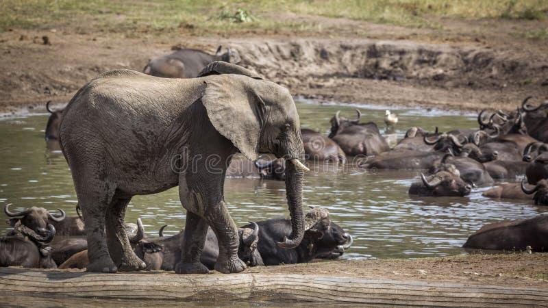 Elefante africano del cespuglio nel parco nazionale di Kruger, Sudafrica fotografie stock