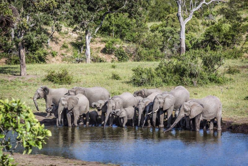 Elefante africano del cespuglio nel parco nazionale di Kruger, Sudafrica fotografia stock libera da diritti