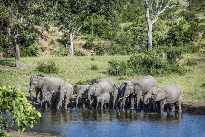 Elefante africano del cespuglio nel parco nazionale di Kruger, Sudafrica immagine stock libera da diritti