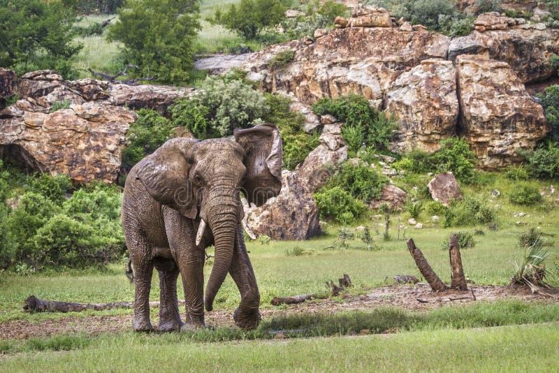 Elefante africano del cespuglio nel parco nazionale di Mapungubwe, Sudafrica fotografia stock libera da diritti