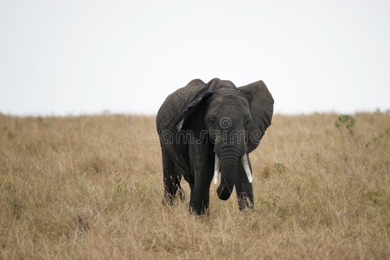 Elefante africano del colmillo en Masai Mara, Kenia imagen de archivo