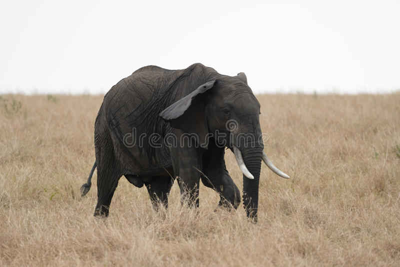 Elefante africano del colmillo en Masai Mara, Kenia fotos de archivo libres de regalías