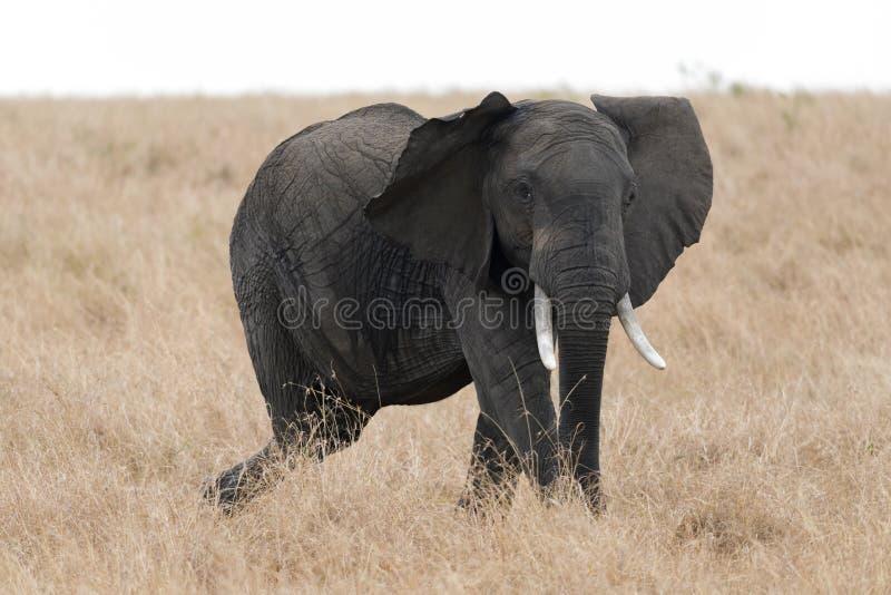 Elefante africano del colmillo en Masai Mara, Kenia imagenes de archivo